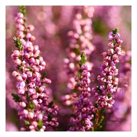 Les senteurs de brin de Bruyère ✨  Bruyère à nombreuses fleurs, elles apparaissent en grappe de clochettes roses 🌟  Senteurs miellées qui subliment notre senteur Sous les Pins 🌲   #lapromenade #parfums #senteur #scent