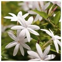 """🇫🇷LE  JASMIN  En parfumerie, la famille olfactive fleurie est la plus importante et la plus utilisée. On y retrouve des matières premières comme le jasmin, la rose, la fleur d'oranger, … Les parfums floraux sont synonymes de féminité et de romantisme. Les fleurs sont le cadeau préféré des femmes, n'est-ce pas Mesdames ? A Grasse, la récolte du jasmin est rare mais elle s'effectue durant le mois d'Août, avant l'aube et le plus rapidement possible. 7 millions de fleurs sont nécessaires pour obtenir 1kg d'essence de jasmin. Le jasmin est donc très rare et très onéreux. C'est pourquoi on privilégie la version synthétique de cette fleur ! On retrouve cette fleur à l'odeur puissante, sucrée et sauvage dans notre création """"Dans un Jardin de Grasse"""".  🇬🇧LE JASMIN  In perfumery, the floral olfactory family is the most important and most used. It includes raw materials such as jasmine, rose, orange blossom, ... Floral fragrances are synonymous with femininity and romance. Flowers are a woman's favourite gift, aren't they ladies? In Grasse, the jasmine harvest is rare but it is done during the month of August, before dawn and as quickly as possible. 7 million flowers are needed to obtain 1kg of jasmine essence. Jasmine is therefore very rare and very expensive. This is why the synthetic version of this flower is preferred! We find this flower with its powerful, sweet and wild smell in our creation """"Dans un Jardin de Grasse"""".  #jasmin #parfumerie #perfume #fragrance #home #deco #madeinfrance #matierepremiere #floral #fleur #fleurie #parfumdinterieur"""
